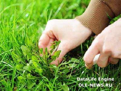 Как победить сорняки на газоне